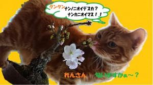 れんさん 桜の匂いを嗅ぐ