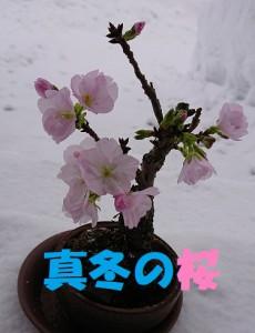 真冬の桜1