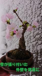 真冬の桜2